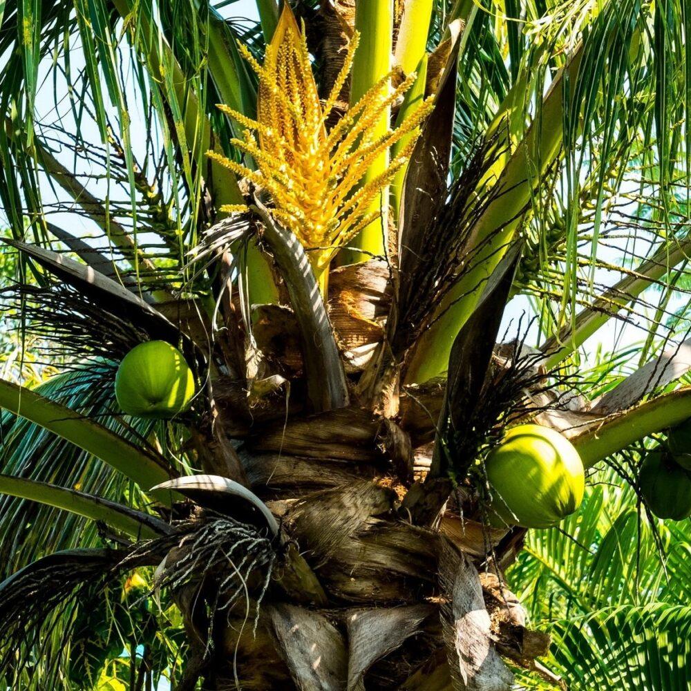 Wat is kokos aminos en waar gebruik je het voor?